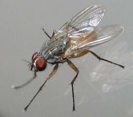 lesser-house-fly[1]