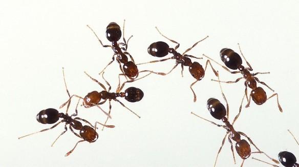 Fire_ants_01[1]